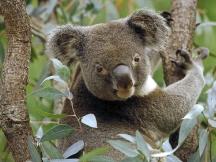 Koala_in_Eucalyptus_Tree