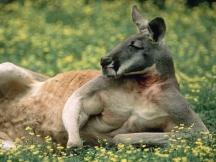 Red_kangaroo