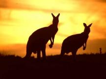 kangaroos%5B1%5D